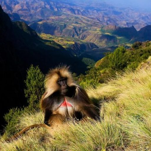 Gelada baboon sitting on top of the cliff in the Semien mountains